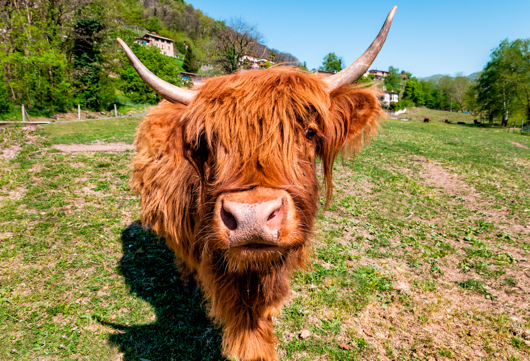 Highland Cow. Dr. Lucas is a large animal veterinarian